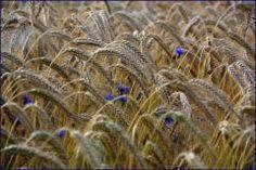 Korn*Blume*blau