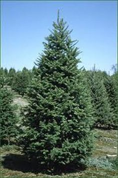 5c719e70c Buy Real Balsam Fir Christmas Trees Online