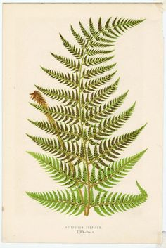 """chromolithograph antique print from the book """"Ferns: British and Exotic"""" by renowned botanist E. J. Lowe. Published in London by Groombridge and Sons in 1856. The bookplates were drawn by A. F. Lydon and engraved by Benjamin Fawcett. Depicts the Polypodium Drepanum fern plant. 10"""" x 6.5"""" paper size Chromolithography is a method for making multi-color prints. This type of color printing stems from the lithography process."""