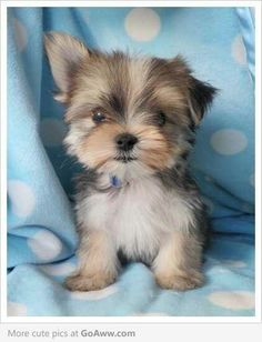 Morkie: Maltese/Yorkie mix. Umm me thinks I need one of these guys to survive.