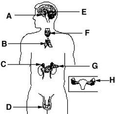 CC3 SCI wk 11 endocrine worksheet endocrine_system