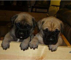 Brindle English bullmastiff puppy ADORABLE Pinterest