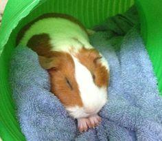 Guinea pig fun                                                                                                                                                                                 More