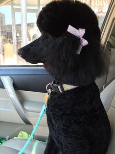 Such a beautiful black standard poodle!