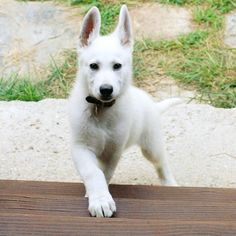 Majestic boy -- Has there ever been a more beautiful dog?! White German Shepherd puppy.