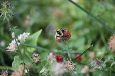 Different bee species do different things during the Fall and Winter months. This week I will begin with the bumblebees progression into the winter months. Check back with us on Wednesday to learn ...