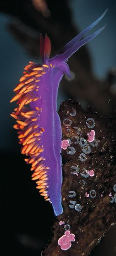 The bright coloration of the Spanish shawl nudibranch warns of foul taste (above). The fish-eating anemone's sturdy tentacles help it catch shrimp and small fish (below).
