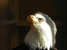 This majestic creature is on the mend at the Northwest Raptor & Wildlife Center. More photos: http://bit.ly/wABFjs