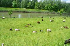 vele schapen maken het gras kort