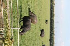 Buffalo (almost) Mozzarella
