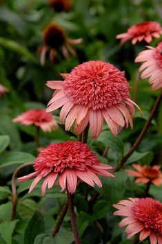 ✯ Raspberry Cone Flower, Animal abuse and torture 4 science or foods, are evil acts and deeds, Arts and Acts 4 life will take care of sending those criminals straight to hell, garbage has to be recycle, so be it, so it is, go vegetarian and act with real love towards all life, http://www.ninaohmanarts.com