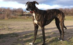 <p>These dogs show that there is hope for racing Greyhounds after the track.</p>