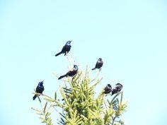 Bird Photos, Birding Sites, Bird Information: COMMON GRACKLE, COLONEL SAMUEL SMITH PARK, TORONTO...