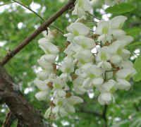 Black Locust Blossoms Wine