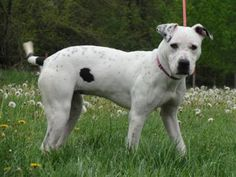 Petango.com – Meet Lola, a 1 year Terrier, Pit Bull / Mix available for adoption in FREEPORT, IL