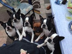Many Boston Terriers