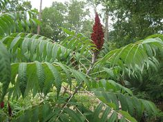 Sumac - Make a drink from berries or use as tangy middle eastern spice
