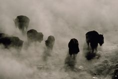 125400.  Silhouettes in the mist, American bison (Bison bison) search for food in Midway Geyser Basin. Area thermal springs warm the ground and melt snow cover, making grasses and sedges more accessible than elsewhere in the frozen park. The spri ngs also discharge hot water into the nearby Firehole River, where elk and other animals find nourishment even in winter.