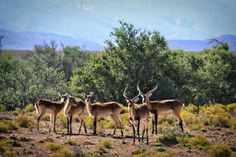 safari, for starters National Animal, Impala, The Locals, South Africa, Safari, Red, Animals, Animales, Animaux