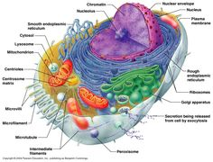 This is a diagram of a cell. It labels the organelles that are important to know and even some I have not learned about yet. It is interesting to see the size ratio of the organelles to the cell such as the peroxisomes and ER. Cell Biology, Science Biology, Human Cell Diagram, Plasma Membrane, Cell Model, Structure And Function, Structure Of Cell, Membrane Structure, Human Anatomy And Physiology
