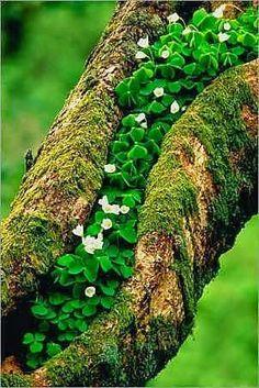 Clover growing on an Oak tree in Scotland
