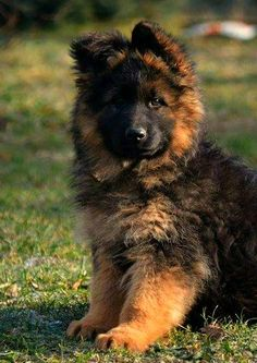 Long Coat German Shepherd Females, Long Hair German Shepherd ...