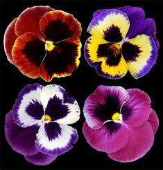 Pansies | From the garden. | Brian Haslam | Flickr
