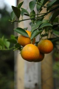 Prune Young Citrus Trees 5 quick tips for pruning young citrus quick tips for pruning young citrus trees