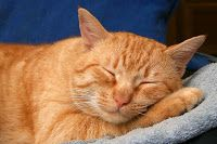 American Wirehair cat is a cat race that is born from a spontaneous genetic mutation of cats that live on the village in New York, in The cat was American Wirehair, I Love Cats, Crazy Cats, Cute Cats, Adorable Kittens, Orange Tabby Cats, Red Cat, Gatos Cats, Cat Sleeping