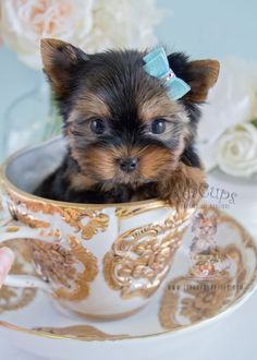 Yorkie Puppy For Sale 224