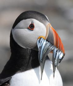 First time encountering a stunning puffin bird was scomer island, Wales with a very special friend. So pretty, love them now .