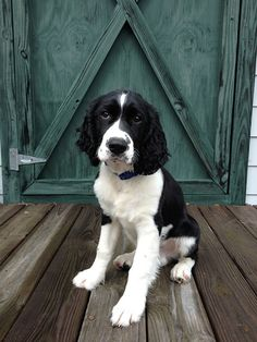 Benne+Wafer,+a+Springer+spaniel+from+Charleston,+South+Carolina.