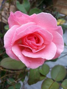 Pink Rose-My Own Secret Garden ♡