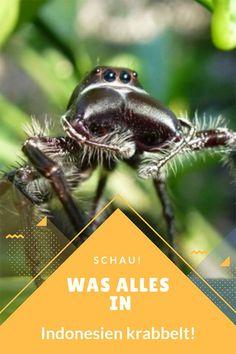 Was kriecht und krabbelt da in Indonesien? Von Riesen-Spinnen über Skorpione bis hin zu zu Tausendfüßlern … Ein kleiner Insekten Exkurs ins krabbelnde Tierreich Indonesiens. #indonesiennatur #indonesieninsekten #indonesienspinnen
