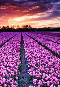 field, netherlands, and tulip field image