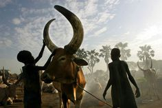 A Life in Pictures: The Celebrated Career of Michel du Cille - NBC News.com – James Matour and John Matoch use a mixture of sand and ashes from burned cow dung to massage the horns of a bull in Sudan in 2005 (The purpose is unknown but they say the bulls like it.)