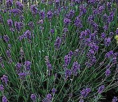 Lavandula angustifolia 'Munstead', Lavendel