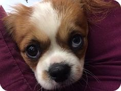 7/15/14 Bradenton, FL - Cavalier King Charles Spaniel/Pekingese Mix. Meet Harvey, a dog for adoption. http://www.adoptapet.com/pet/11167493-bradenton-florida-cavalier-king-charles-spaniel-mix