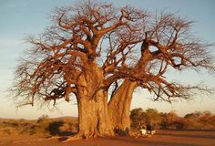 giant awe inspiring zimbabwean baobab, maybe thousands of years old Weird Trees, Baobab Tree, Branches, Single Tree, Big Tree, Photo Tree, Small Trees, Watercolor Techniques, Weird And Wonderful