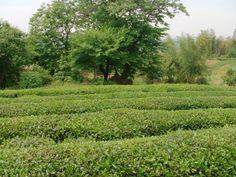 De plaats was prachtig en groen en zoals Jason zei hij kon de theeblaadjes in het veld ruiken. Dit veld ligt op 800 meter hoogte en is gevuld met frisse lucht, http://tea-adventure.nl/groene-thee/long-jing