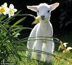 Baby Sheep in the spring.