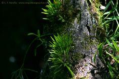 :: Orquídeas do Rio Grande do Sul :: Foto