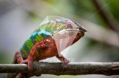 Camaleão/Chameleon by Dina – Moderimage