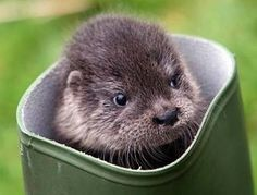 baby otter in a  boot