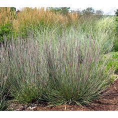 Utile pour végétaliser les sols pauvres, sablonneux ou rocailleux, source de nourriture pour les oiseaux granivores.