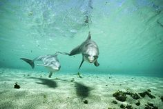 Bottlenose Dolphin Pair Hawaii
