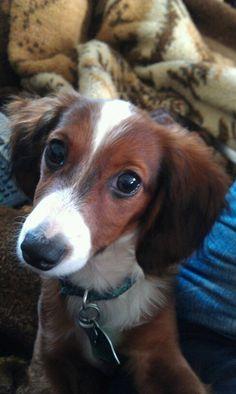 Cutest Dachshund ever - Daisy