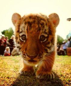 baby tiger :)