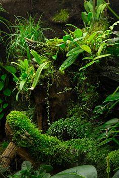Stelis argentata, Bulbophyllum odoratissimum, Java moss, Asplenium, Chirita tamania, Vriesea correia, Peperomia sp., Begonia schulzei
