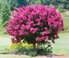 lilas des indes isolé fond du jardin mais à déplacer à cause de la ligne électrique bouturage en fin d'été